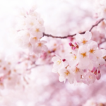 cherry blossom  will bloom soon♪