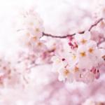 もうすぐ桜がきれいな季節ですね♪